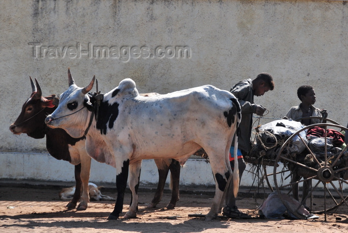 madagascar103: Morondava - Menabe, Toliara province, Madagascar: oxen take a rest - photo by M.Torres - (c) Travel-Images.com - Stock Photography agency - Image Bank