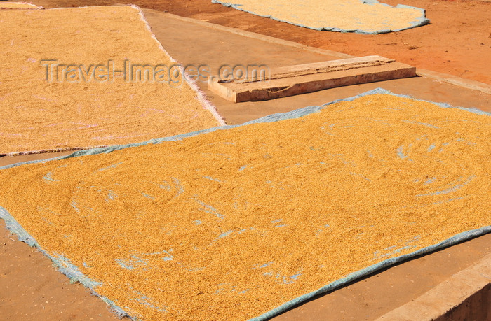 madagascar110: Morondava - Menabe, Toliara province, Madagascar: rice dries in the sun - photo by M.Torres - (c) Travel-Images.com - Stock Photography agency - Image Bank