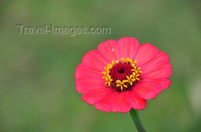 madagascar134: Mahambo, Analanjirofo, Toamasina Province, Madagascar: red flower - photo by M.Torres - (c) Travel-Images.com - Stock Photography agency - Image Bank