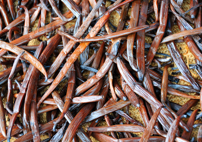 madagascar147: Soanierana Ivongo, Analanjirofo, Toamasina Province, Madagascar: vanilla pods drying - curing process - Bourbon-Madagascar vanilla - photo by M.Torres - (c) Travel-Images.com - Stock Photography agency - Image Bank