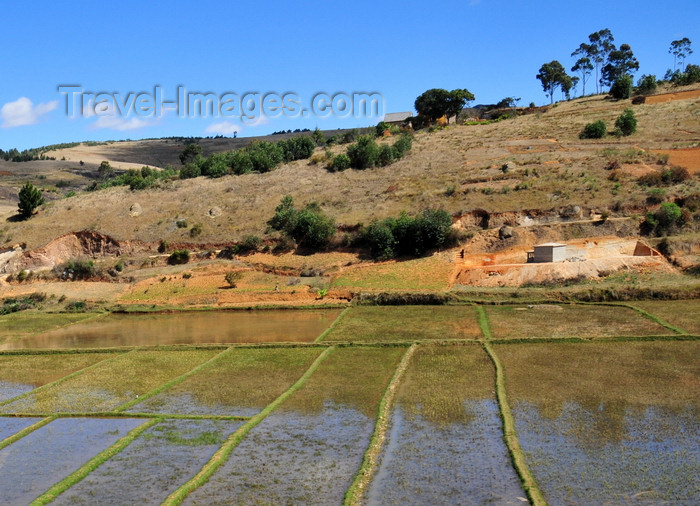 madagascar161: RN2, Alaotra-Mangoro region, Toamasina Province, Madagascar: rice paddies - agriculture - photo by M.Torres - (c) Travel-Images.com - Stock Photography agency - Image Bank