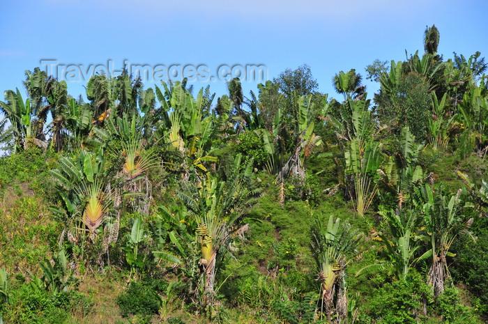 madagascar170: RN2, Atsinanana region, Toamasina Province, Madagascar: forest of travellers' palms - Ravenala madagascariensis - photo by M.Torres - (c) Travel-Images.com - Stock Photography agency - Image Bank