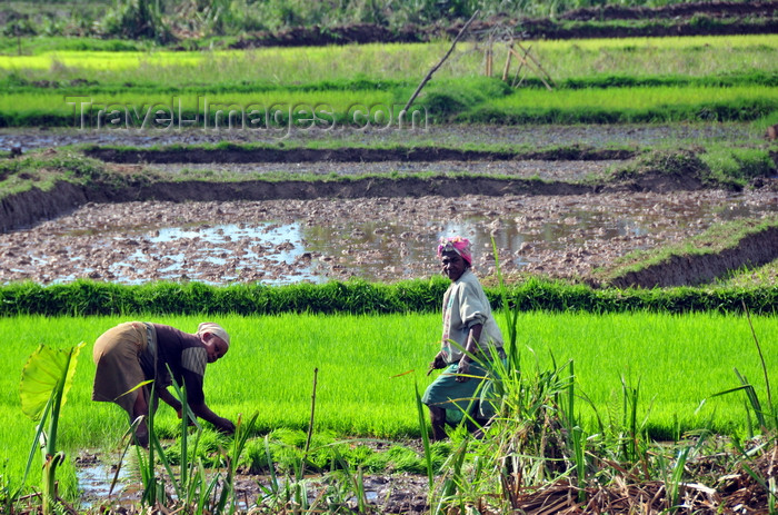 madagascar174: RN5, Analanjirofo region, Toamasina Province, Madagascar: workers toiling a rice field - third world agriculture - photo by M.Torres - (c) Travel-Images.com - Stock Photography agency - Image Bank