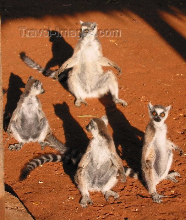 madagascar20: Berenty reserve near Fort-Dauphin, Toliara province, Madagascar: Ring Tailed Lemurs gather together to bask in the morning light - lemur catta - Maki or Hira - photo by R.Eime - (c) Travel-Images.com - Stock Photography agency - Image Bank