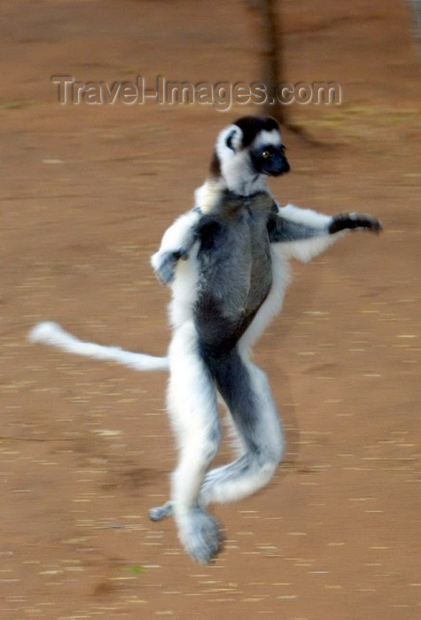 madagascar21: Berenty reserve, near Fort-Dauphin, Toliara province, Madagascar: Verreaux's Sifakamoves comically across open ground - Propithecus verreauxi verreauxi - photo by R.Eime - (c) Travel-Images.com - Stock Photography agency - Image Bank