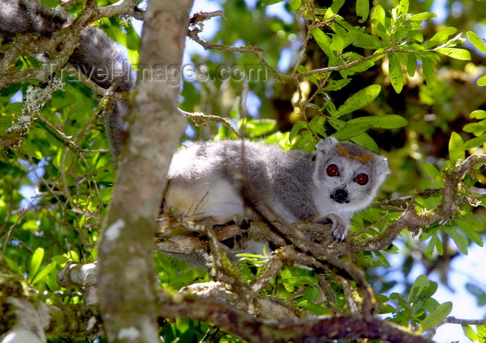 madagascar22: Montagne d'Ambre National Park, Antsiranana / Diego Suarez Province, Madagascar: female Crowned Lemur on a tree - Eulemur coronatus - photo by R.Eime - (c) Travel-Images.com - Stock Photography agency - Image Bank