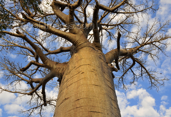madagascar230: West coast road between the Tsiribihina river and Alley of the Baobabs, Toliara Province, Madagascar: baobab seen from below - trunk and crown - photo by M.Torres - (c) Travel-Images.com - Stock Photography agency - Image Bank