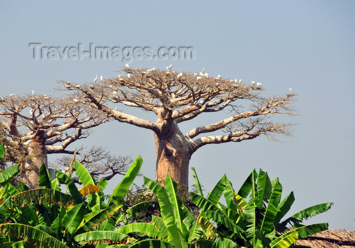 madagascar231: West coast road between Morondava and Alley of the Baobabs, Toliara Province, Madagascar: baobabs, banana trees and egrets - Adansonia grandidieri - photo by M.Torres - (c) Travel-Images.com - Stock Photography agency - Image Bank