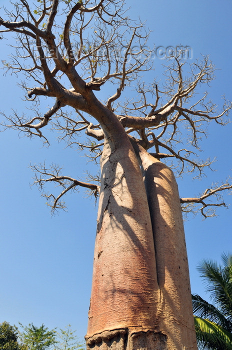 madagascar232: West coast road between Morondava and Alley of the Baobabs, Toliara Province, Madagascar: pair of Siamese baobabs - Adansonia grandidieri - photo by M.Torres - (c) Travel-Images.com - Stock Photography agency - Image Bank