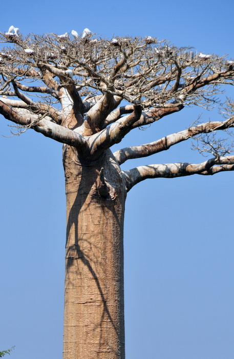 madagascar233: West coast road between Morondava and Alley of the Baobabs, Toliara Province, Madagascar: flock of egrets resting on a baobab - Adansonia grandidieri, the most aesthetical of all baobabs - photo by M.Torres - (c) Travel-Images.com - Stock Photography agency - Image Bank