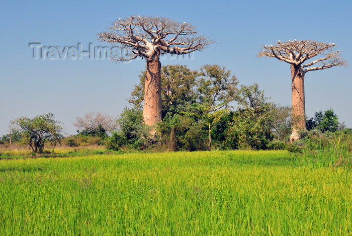 madagascar235: West coast road between Morondava and Alley of the Baobabs, Toliara Province, Madagascar: tall rice, baobabs and egrets - Adansonia grandidieri - photo by M.Torres - (c) Travel-Images.com - Stock Photography agency - Image Bank