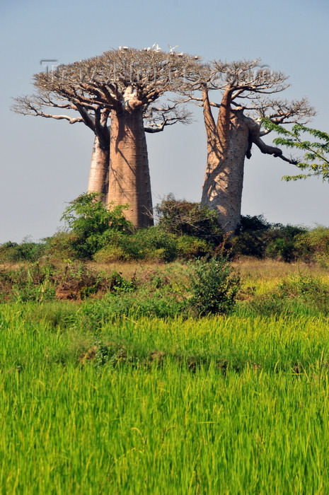 madagascar236: West coast road between Morondava and Alley of the Baobabs, Toliara Province, Madagascar: rice field and cluster of baobabs that survived deforestation due to their sacred character - Adansonia grandidieri - photo by M.Torres - (c) Travel-Images.com - Stock Photography agency - Image Bank
