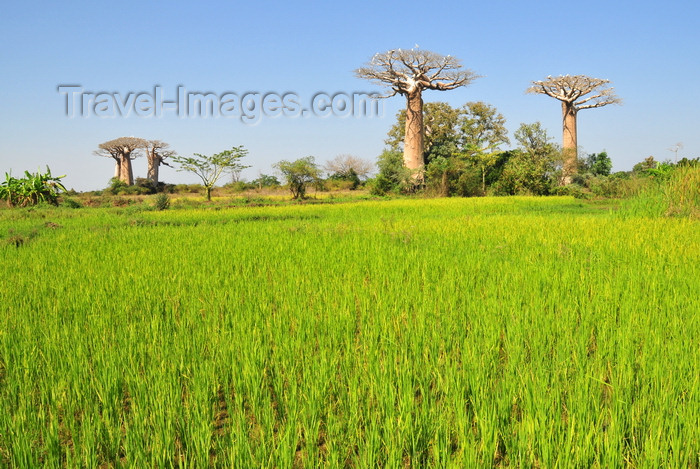 madagascar237: West coast road between Morondava and Alley of the Baobabs, Toliara Province, Madagascar: rice field with baobab trees on the skyline - Adansonia grandidieri - subsistence agriculture in a slash-and-burn area - photo by M.Torres - (c) Travel-Images.com - Stock Photography agency - Image Bank