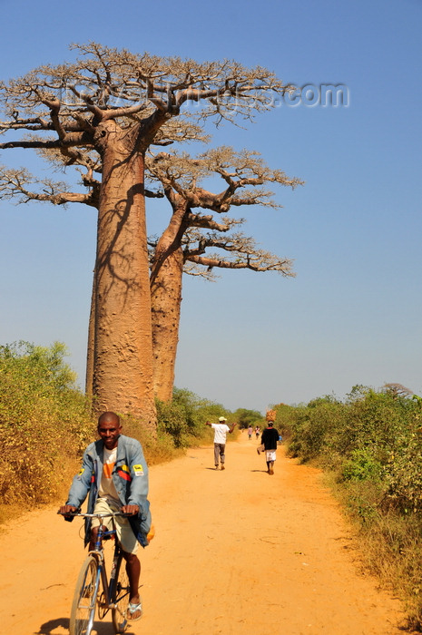 madagascar238: West coast road between Morondava and Alley of the Baobabs, Toliara Province, Madagascar: bicycle, dirt road and baobabs - Adansonia grandidieri - photo by M.Torres - (c) Travel-Images.com - Stock Photography agency - Image Bank