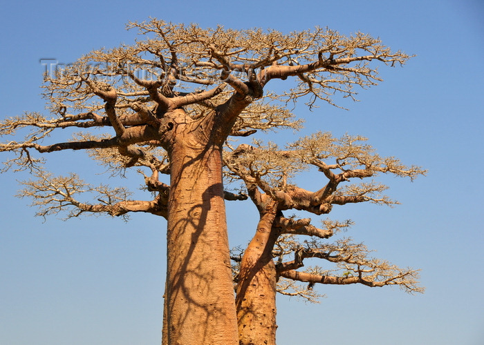 madagascar239: West coast road between Morondava and Alley of the Baobabs, Toliara Province, Madagascar: baobabs crowns have branches like upside-down roots - Adansonia grandidieri - photo by M.Torres - (c) Travel-Images.com - Stock Photography agency - Image Bank