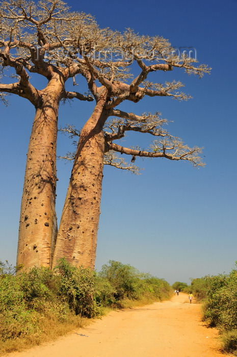 madagascar241: West coast road between Morondava and Alley of the Baobabs, Toliara Province, Madagascar: dirt road and twin baobabs - Adansonia grandidieri - photo by M.Torres - (c) Travel-Images.com - Stock Photography agency - Image Bank
