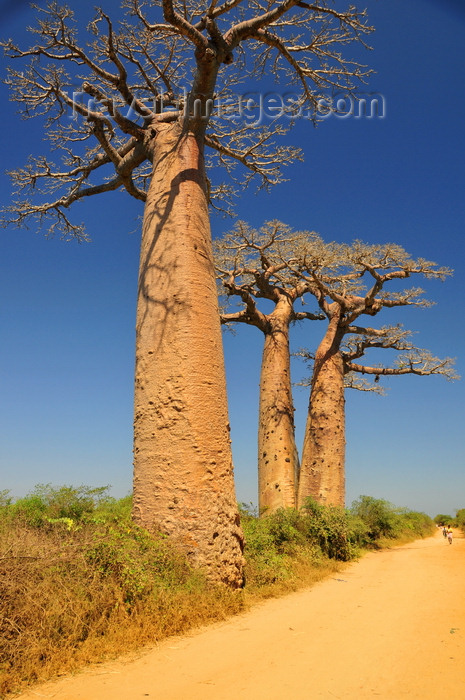 madagascar242: West coast road between Morondava and Alley of the Baobabs, Toliara Province, Madagascar: dirt road and baobabs with horizontal branches - Adansonia grandidieri, the better known of Malagasy baobabs - photo by M.Torres - (c) Travel-Images.com - Stock Photography agency - Image Bank