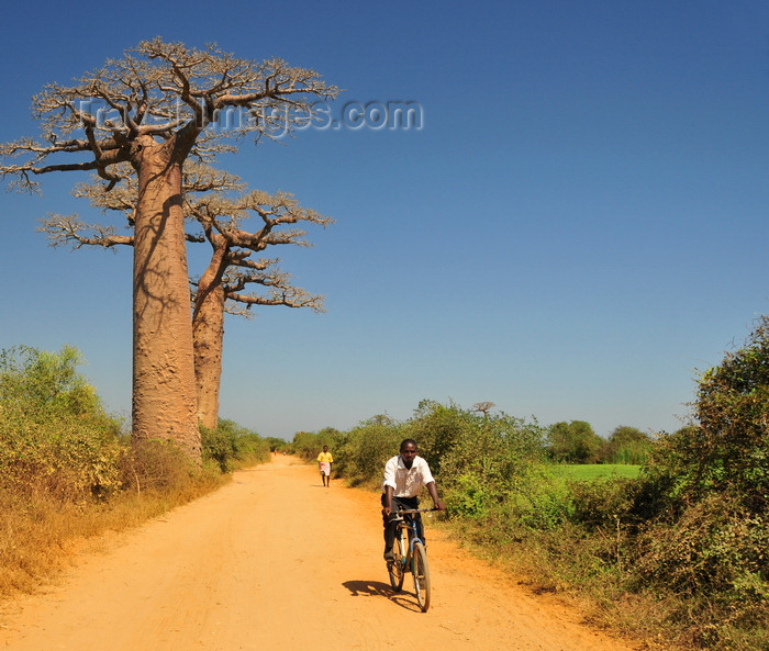madagascar243: West coast road between Morondava and Alley of the Baobabs, Toliara Province, Madagascar: bycicle rider going north and baobabs - Adansonia grandidieri - photo by M.Torres - (c) Travel-Images.com - Stock Photography agency - Image Bank