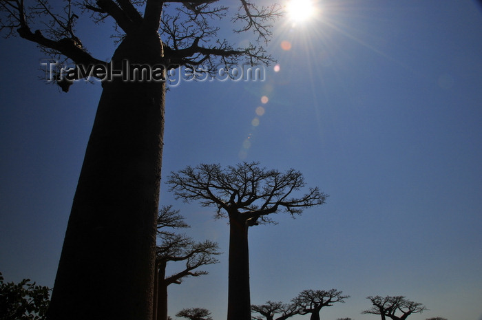 madagascar26: Alley of the Baobabs, north of Morondava, Menabe region, Toliara province, Madagascar: baobabs under the midday sun - the massive trunks have little wood fibre, allowing for a large volume of water to be stored - Adansonia grandidieri - photo by M.Torres - (c) Travel-Images.com - Stock Photography agency - Image Bank