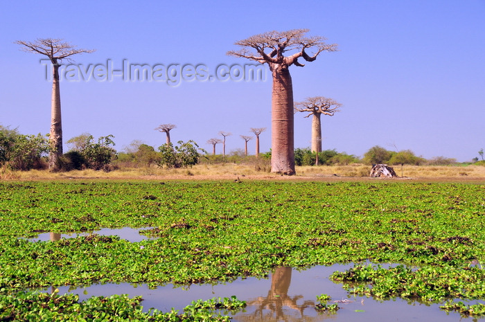 madagascar28: Alley of the Baobabs, north of Morondava, Menabe region, Toliara province, Madagascar: baobabs and pond with water lilies - baobab roots are harmed by waterlogged soils - Adansonia grandidieri - photo by M.Torres - (c) Travel-Images.com - Stock Photography agency - Image Bank