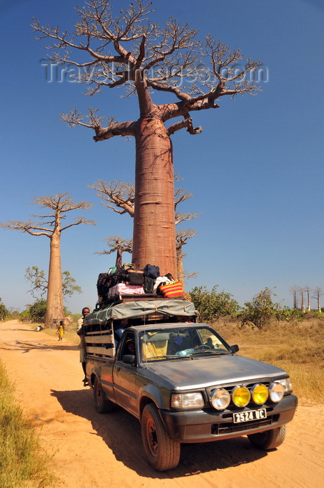 madagascar29: Alley of the Baobabs, north of Morondava, Menabe region, Toliara province, Madagascar: baobabs and fully loaded 4WD pick-up truck on the dirt road to Belon'i Tsiribihina -  Adansonia grandidieri - photo by M.Torres - (c) Travel-Images.com - Stock Photography agency - Image Bank