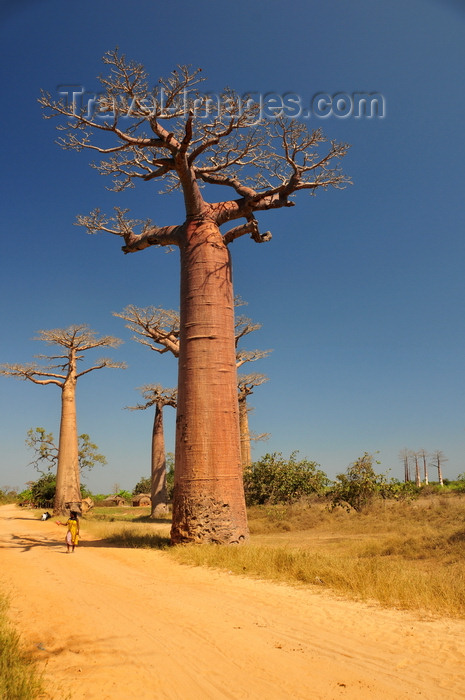 madagascar30: Alley of the Baobabs, north of Morondava, Menabe region, Toliara province, Madagascar: impressive baobabs and the dirt road aka Avenue of the Baobabs - Adansonia grandidieri - photo by M.Torres - (c) Travel-Images.com - Stock Photography agency - Image Bank