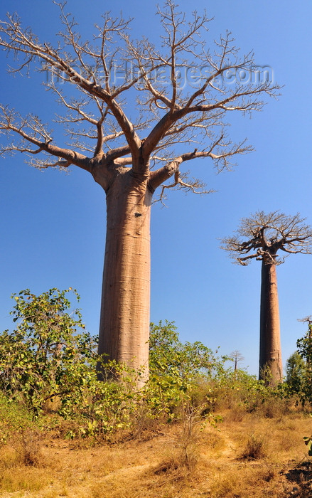 madagascar31: Alley of the Baobabs, north of Morondava, Menabe region, Toliara province, Madagascar: the locals for whom the trees have potent spiritual significance call the baobabs 'renala', Malagasy for 'mother of the forest' -  Adansonia grandidieri - photo by M.Torres - (c) Travel-Images.com - Stock Photography agency - Image Bank