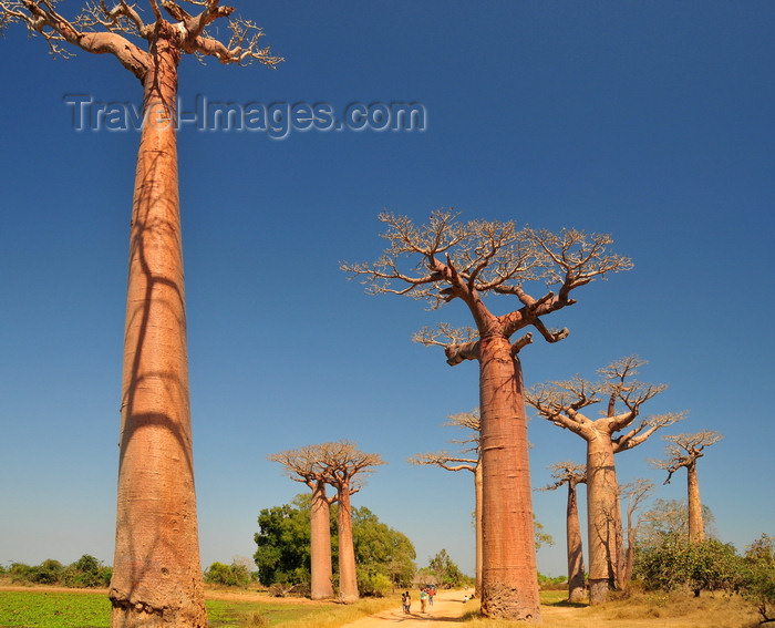 madagascar32: Alley of the Baobabs, north of Morondava, Menabe region, Toliara province, Madagascar: a dozen baobab trees straddle the narrow sandy road, soaring 30 metres into the sky - Adansonia grandidieri - photo by M.Torres - (c) Travel-Images.com - Stock Photography agency - Image Bank