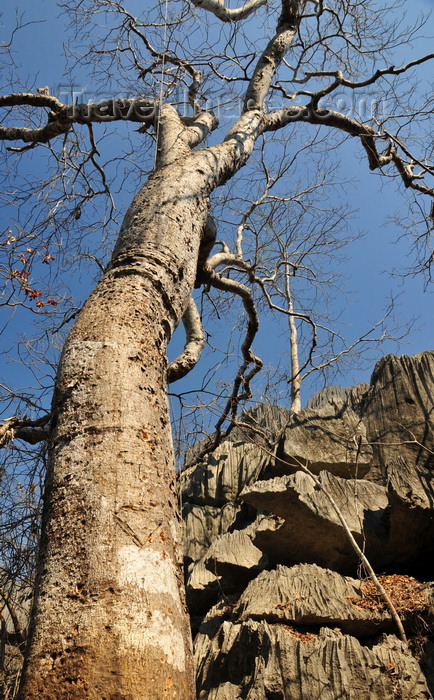 madagascar321: Tsingy de Bemaraha National Park, Mahajanga province, Madagascar: baobab growing in a canyon - karst limestone formation - UNESCO World Heritage Site - photo by M.Torres - (c) Travel-Images.com - Stock Photography agency - Image Bank