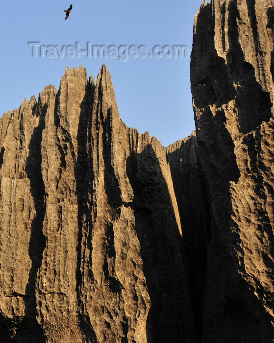 madagascar324: Tsingy de Bemaraha National Park, Mahajanga province, Madagascar: falcon and karst limestone formation - part of a calcareous mountain range along the west central coast - UNESCO World Heritage Site - photo by M.Torres - (c) Travel-Images.com - Stock Photography agency - Image Bank