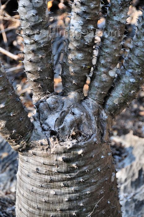 madagascar327: Tsingy de Bemaraha National Park, Mahajanga province, Madagascar: hand shaped pachypodium - pachycaul, spinescence - xeric plant - UNESCO World Heritage Site - photo by M.Torres - (c) Travel-Images.com - Stock Photography agency - Image Bank