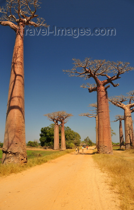 madagascar33: Alley of the Baobabs, north of Morondava, Menabe region, Toliara province, Madagascar: a tree-lined boulevard in the middle of nowhere - baobabs - Adansonia grandidieri - photo by M.Torres - (c) Travel-Images.com - Stock Photography agency - Image Bank