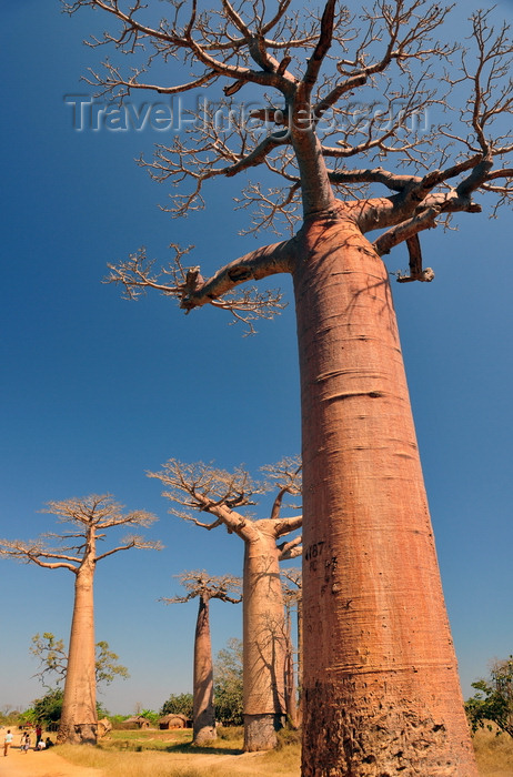 madagascar34: Alley of the Baobabs, north of Morondava, Menabe region, Toliara province, Madagascar: Adansonia grandidieri is the tallest species of baobab, named after the French botanists Michel Adanson and Alfred Grandidier - photo by M.Torres - (c) Travel-Images.com - Stock Photography agency - Image Bank