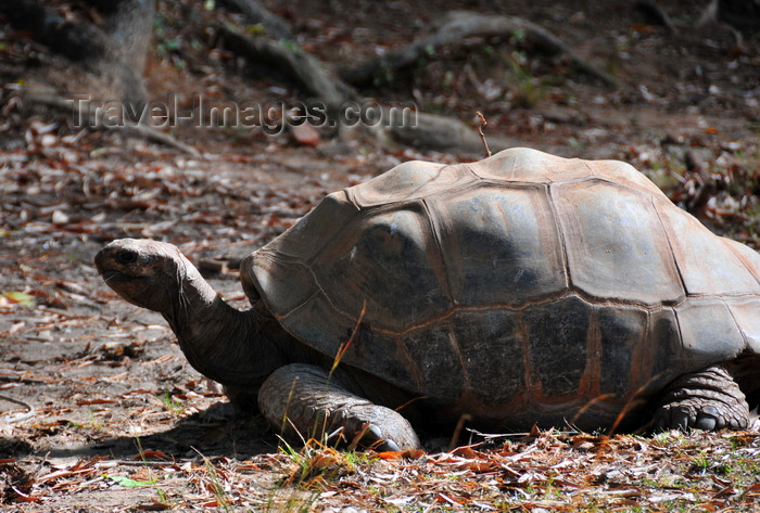 madagascar358: Antananarivo / Tananarive / Tana - Analamanga region, Madagascar: Parc botanique et Zoologique de Tsimbazaza - Aldabra Giant Tortoise - Geochelone gigantea - land turtle - reptile - fauna - photo by M.Torres - (c) Travel-Images.com - Stock Photography agency - Image Bank