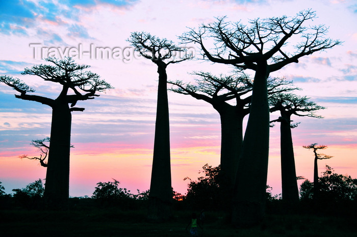 madagascar37: Alley of the Baobabs, north of Morondava, Menabe region, Toliara province, Madagascar: baobab silhouettes at sunset - bizarre trees that look as if growing upside-down - Adansonia grandidieri - photo by M.Torres - (c) Travel-Images.com - Stock Photography agency - Image Bank