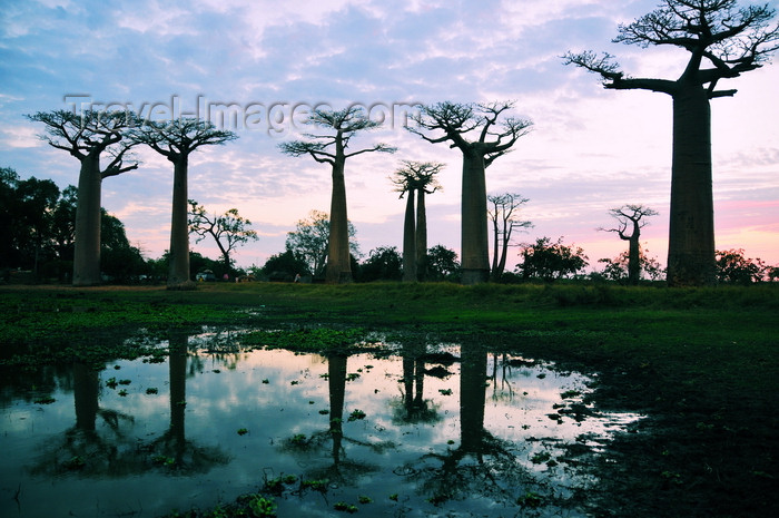 madagascar38: Alley of the Baobabs, north of Morondava, Menabe region, Toliara province, Madagascar: baobabs and pond at sunset - 30 m in height, baobab trees can be up to 800 years old -  Adansonia grandidieri - photo by M.Torres - (c) Travel-Images.com - Stock Photography agency - Image Bank