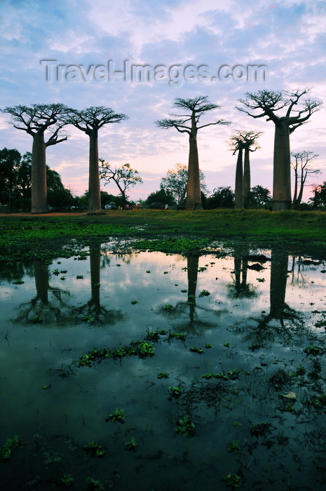 madagascar39: Alley of the Baobabs, north of Morondava, Menabe region, Toliara province, Madagascar: baobabs and pond at sunset - Allée des Baobabs - Adansonia grandidieri - photo by M.Torres - (c) Travel-Images.com - Stock Photography agency - Image Bank