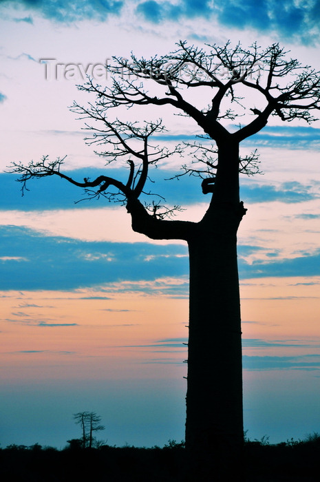 madagascar40: Alley of the Baobabs, north of Morondava, Menabe region, Toliara province, Madagascar: magnificent baobab silhouette at sunset - Adansonia grandidieri - photo by M.Torres - (c) Travel-Images.com - Stock Photography agency - Image Bank