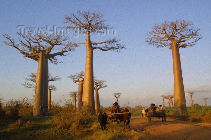 madagascar6: Allee des Baobabs, north of Morondava, Menabe region, Toliara region, Madagascar: Silent giants - old Baobab trees - Adansonia granddieri - Avenue of the Baobabs - photo by R.Eime - (c) Travel-Images.com - Stock Photography agency - Image Bank