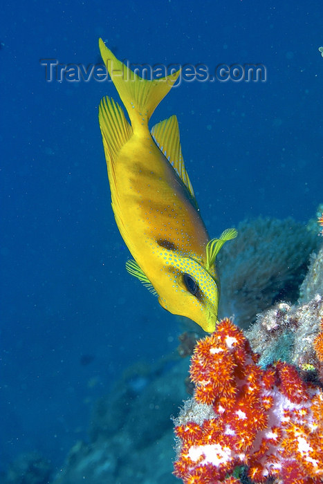 mal-u138: Coral rabbitfish (Siganus tetrazonus) eating a dendronepthya soft coral,   Temple of the sea, Pulau Perhentian, South China sea, Penninsular Malaysia, Asia - (c) Travel-Images.com - Stock Photography agency - Image Bank