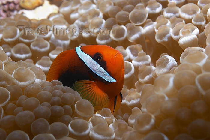 mal-u139: Bridled anenome fish (Amphiprion frenatus) in a bubble anenome,   Temple of the sea, Pulau Perhentian, South China sea, Penninsular Malaysia, Asia - (c) Travel-Images.com - Stock Photography agency - Image Bank