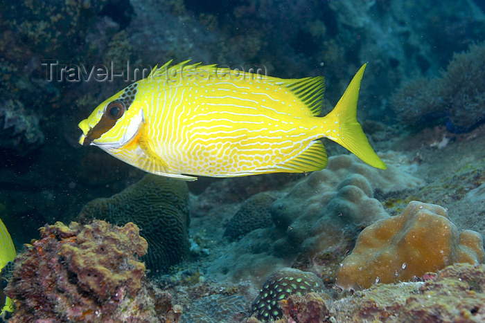 mal-u177: Masked yellow rabbitfish (Siganus puellus) on the reef,  Twin rocks, Pulau Perhentian, South China sea, Penninsular Malaysia, Asia - (c) Travel-Images.com - Stock Photography agency - Image Bank
