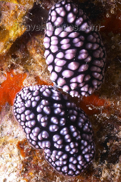 mal-u180: A pair of Pustulose phyllidiella nudibranch (Pustulose phyllidiella) mating on a reef wall,   Twin rocks, Pulau Perhentian, South China sea, Penninsular Malaysia, Asia - (c) Travel-Images.com - Stock Photography agency - Image Bank