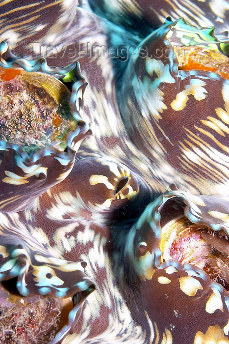 mal-u185: Fluted Giant clam (Tridacna squamosa) ,   Twin rocks, Pulau Perhentian, South China sea, Penninsular Malaysia, Asia - (c) Travel-Images.com - Stock Photography agency - Image Bank