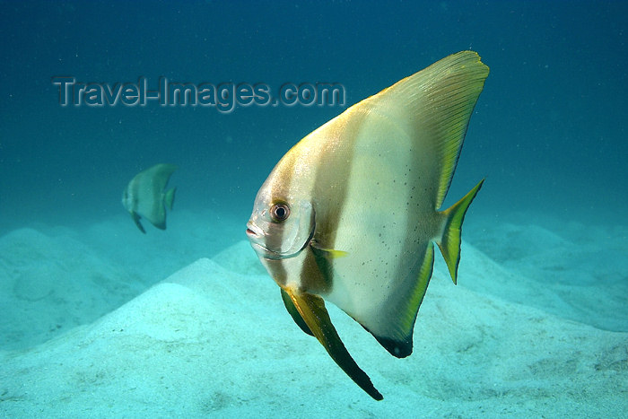 mal-u188: 2 Adolescent Boers batfish (Platax boersi) in the blue,   Batu Nisan, Pulau Perhentian, South China sea, Penninsular Malaysia, Asia - (c) Travel-Images.com - Stock Photography agency - Image Bank