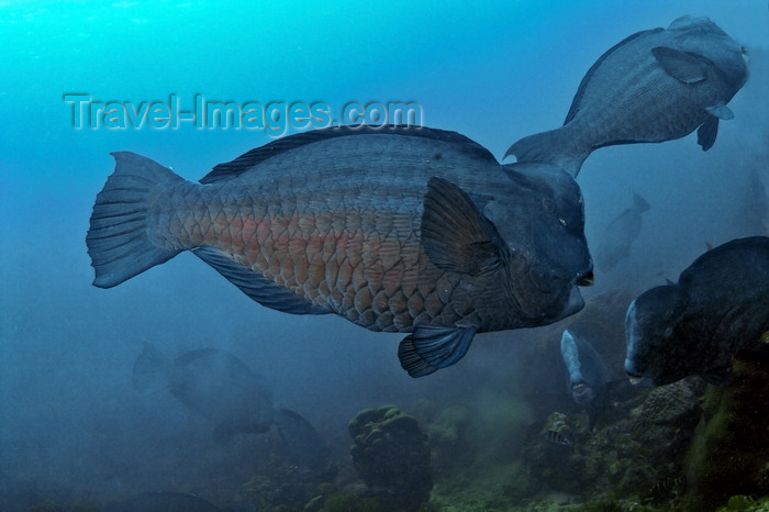 mal-u223: Perhentian Islands, Terengganu, Malaysia: D'Lagoon- Bumphead Parrotfish - Bolbometopon muricatum - photo by S.Egeberg - (c) Travel-Images.com - Stock Photography agency - Image Bank