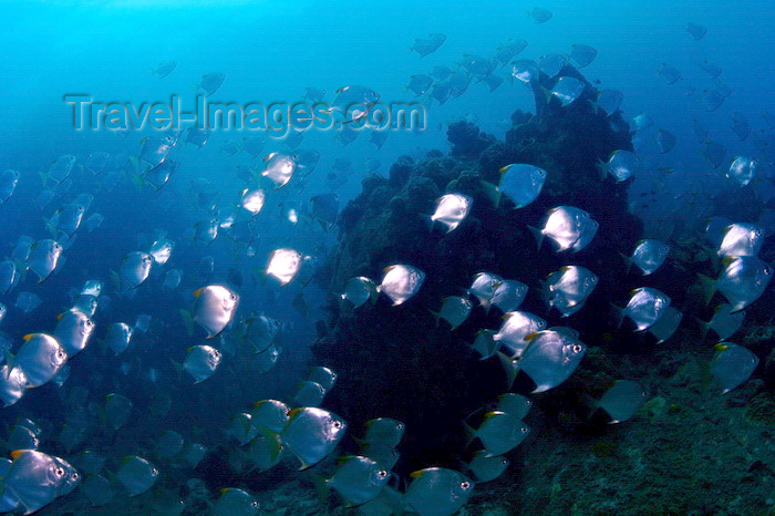 mal-u225: Perhentian Islands, Terengganu, Malaysia: Shark Point - diamond fish - Monodactylus argenteus - photo by S.Egeberg - (c) Travel-Images.com - Stock Photography agency - Image Bank