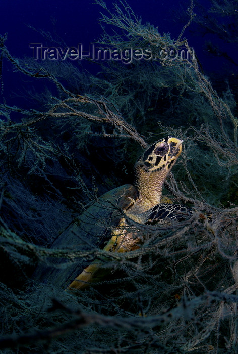 mal-u228: Perhentian Islands, Terengganu, Malaysia: Ian's Ball- Hawksbill Turtle in the corals - Eretmochelys imbricata - photo by S.Egeberg - (c) Travel-Images.com - Stock Photography agency - Image Bank