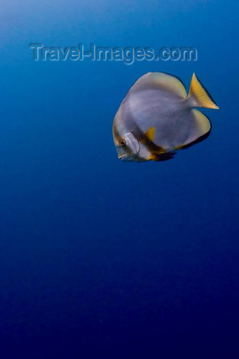 mal-u230: Sipadan Island, Sabah, Borneo, Malaysia: Circular Batfish in the bue - Platax Orbicularis - photo by S.Egeberg - (c) Travel-Images.com - Stock Photography agency - Image Bank