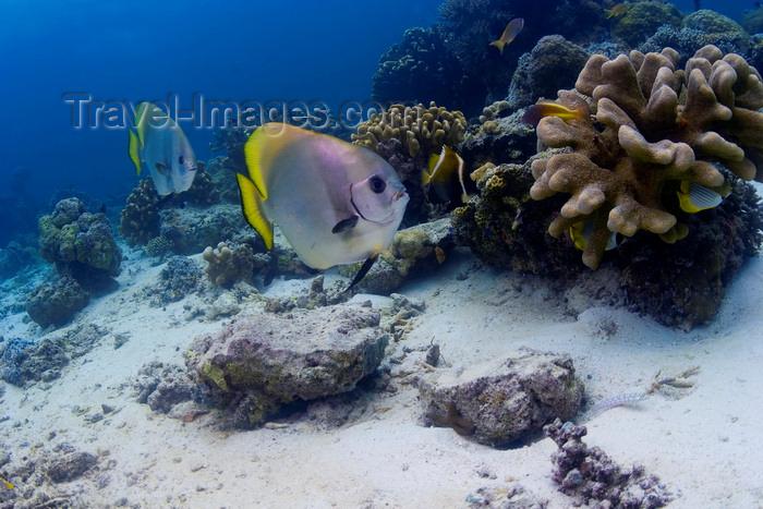mal-u231: Sipadan Island, Sabah, Borneo, Malaysia: Circular Batfish swim along the coral reef - Platax Orbicularis - photo by S.Egeberg - (c) Travel-Images.com - Stock Photography agency - Image Bank